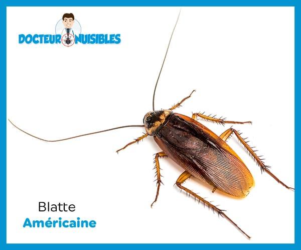 La blattes americaine